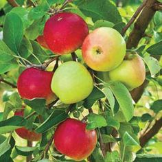 Two Variety Apple Tree 2
